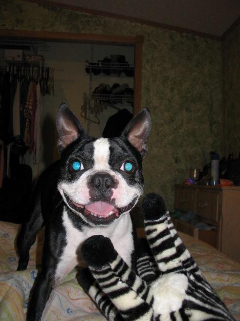 Great Dane Puppies Brown
