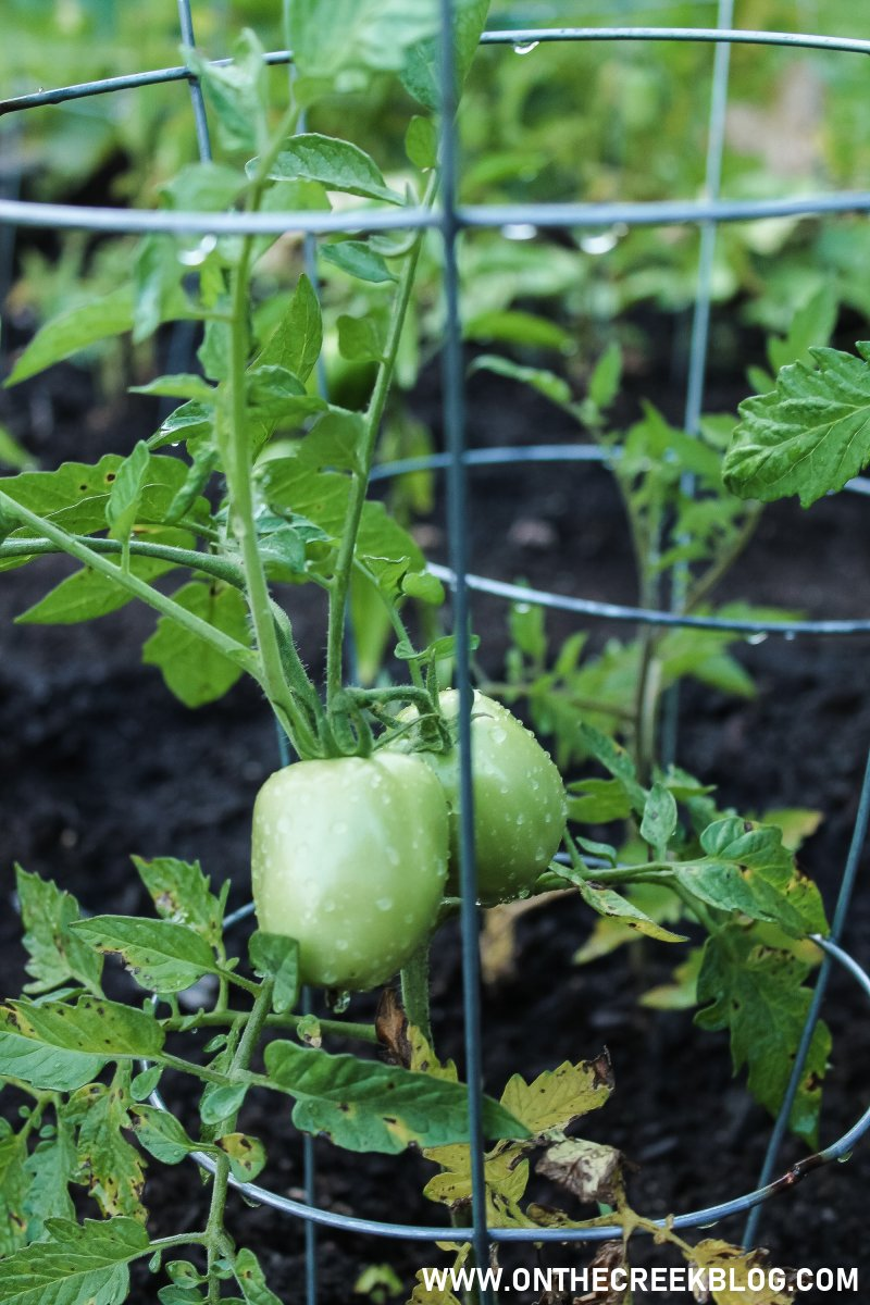Green tomatoes growing in my garden! | On The Creek Blog