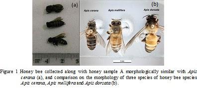 Lebah hutan, Apic cerana, lebah penghasil madu hutan kalimantan