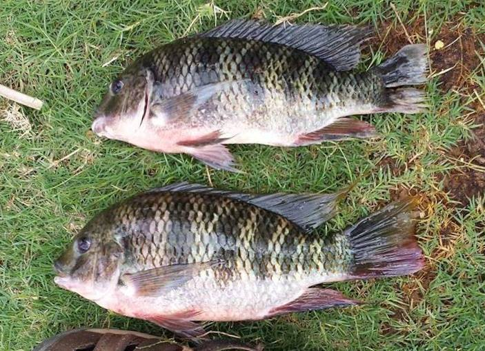 Umpan Mancing Ikan Mujair Alami kolam empang liar payau laguna danau waduk