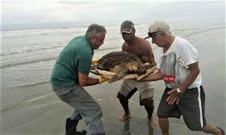 Tartaruga resgatada no Balneário Tropical foi encaminhada para tratamento