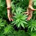 Συνελήφθη 35χρονος στη Λαμία για κατοχή και καλλιέργεια ναρκωτικών