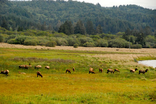Herd of Roosevelt Elk Redwood National and State Park California