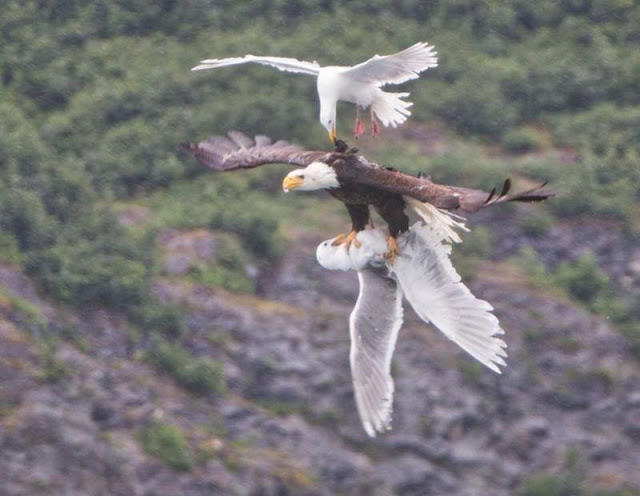 seagul tries to rescue another from an eagle mid flight