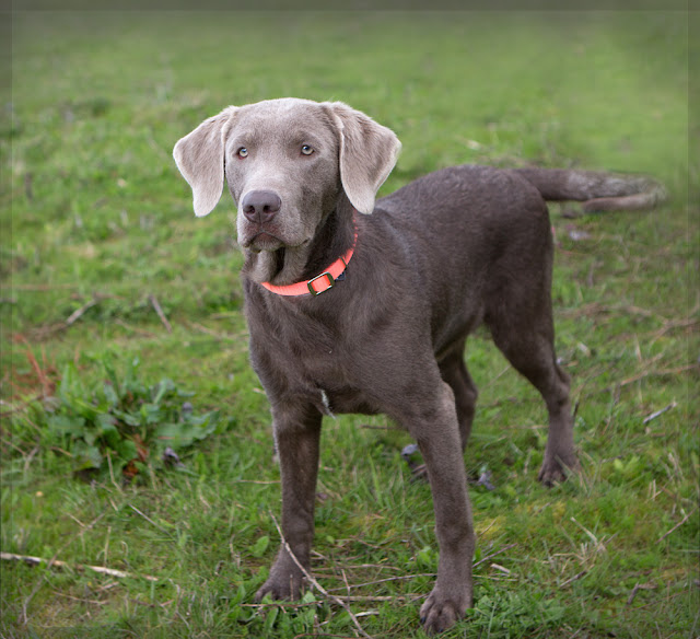 "Shelter Dogs of Portland: ""SPUTNIK"" young Weimaraner ..."