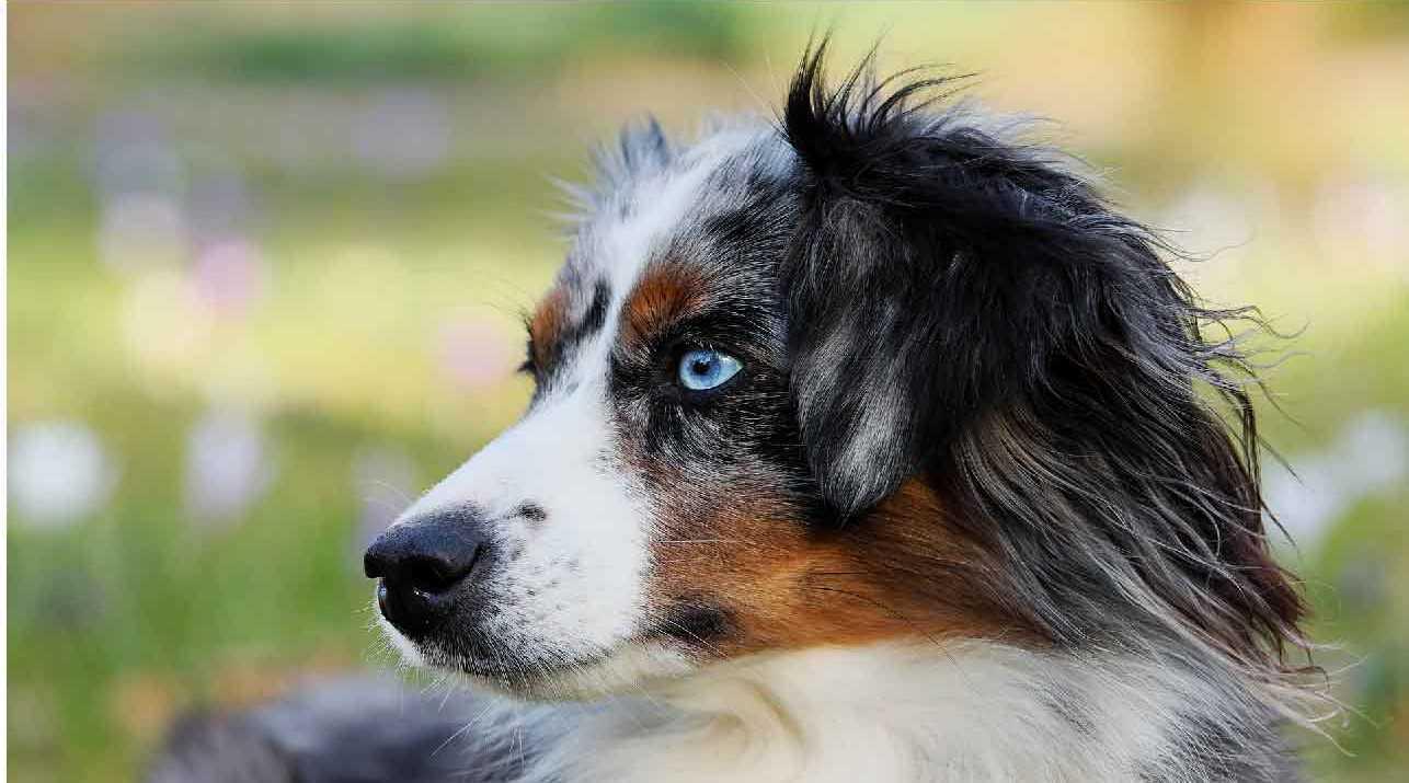 le chien berger australien, police d'assurance, mutuelle chien, assurance chien, assurance pour animaux de compagnie, assurance pour animaux domestiques, assureur, berger américain miniature, animal de compagnie