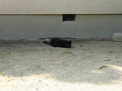 佐太天神宮 黒猫
