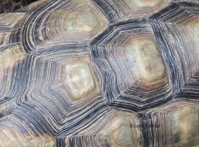 Escudos de una tortuga