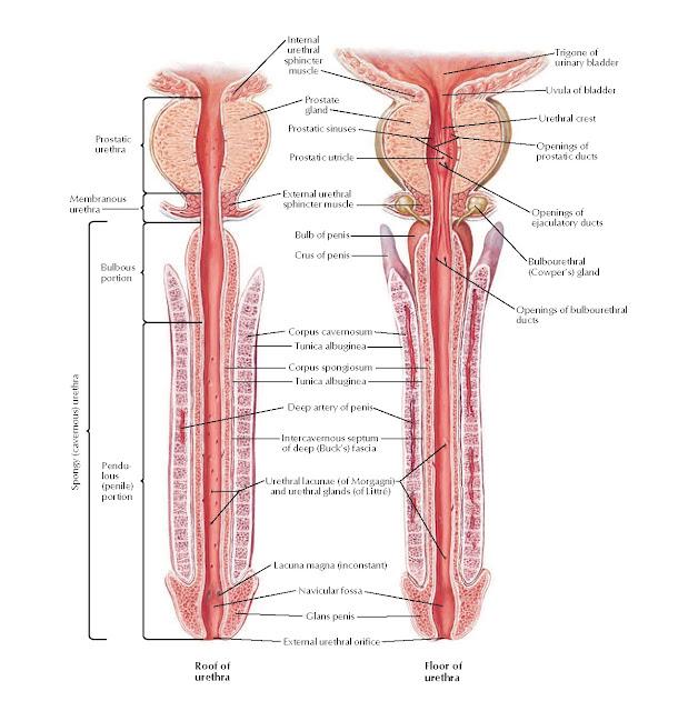 Urethra Anatomy