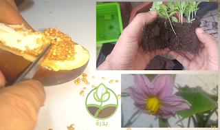 زراعة الباذنجان في وعاء من بذور نستخرجها من ثمرة الباذنجان نفسها
