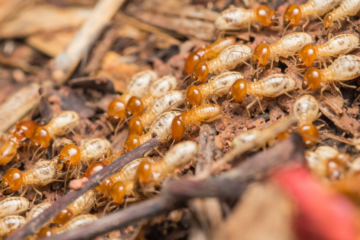 imagen de las Las termitas