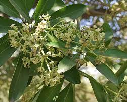 Alstonia spp.