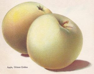 Golden Apples illustration by Alois Lunzer  from Brown Brothers Continental Nursery Catalog 1909