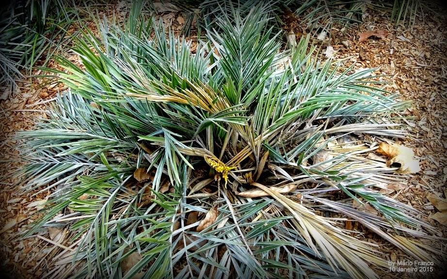 Folhas Syagrus microphylla