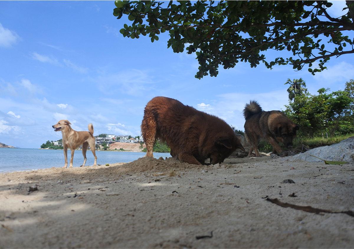 rescue dogs koh samui
