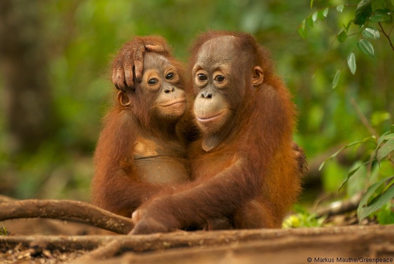 Dois orangotangos de Bornéu
