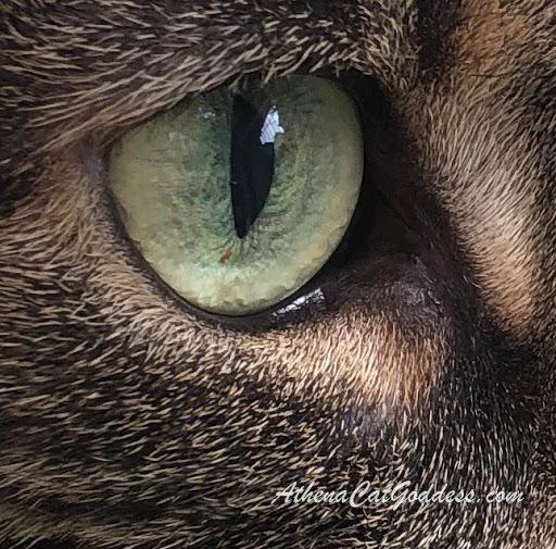 close up feline eye