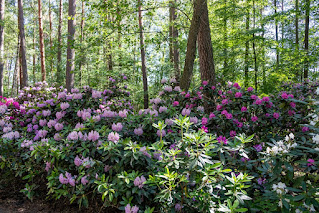 Rhododendrons with purple and white flowers in front of tall trees.
