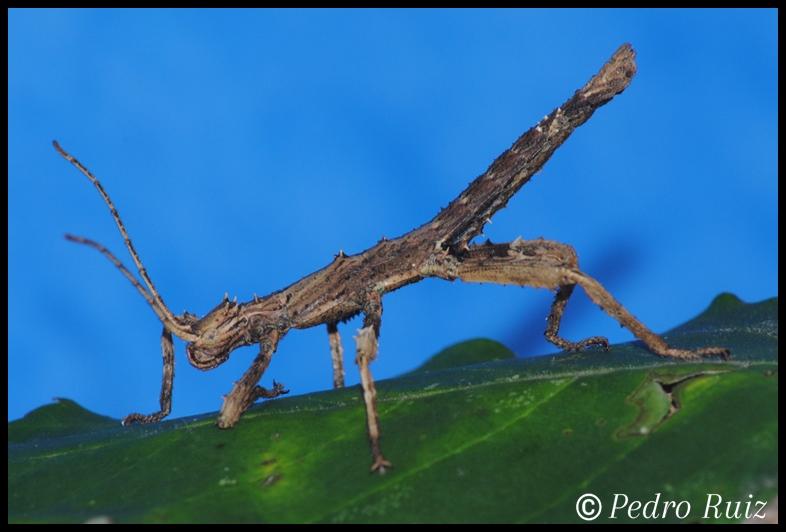 Ninfa macho L1 de Haaniella grayii, 3 cm de longitud