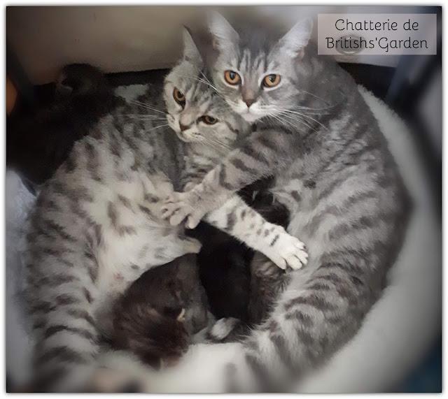 chat british shorthair et longhair, black silver tabby et brown tabby, chaton