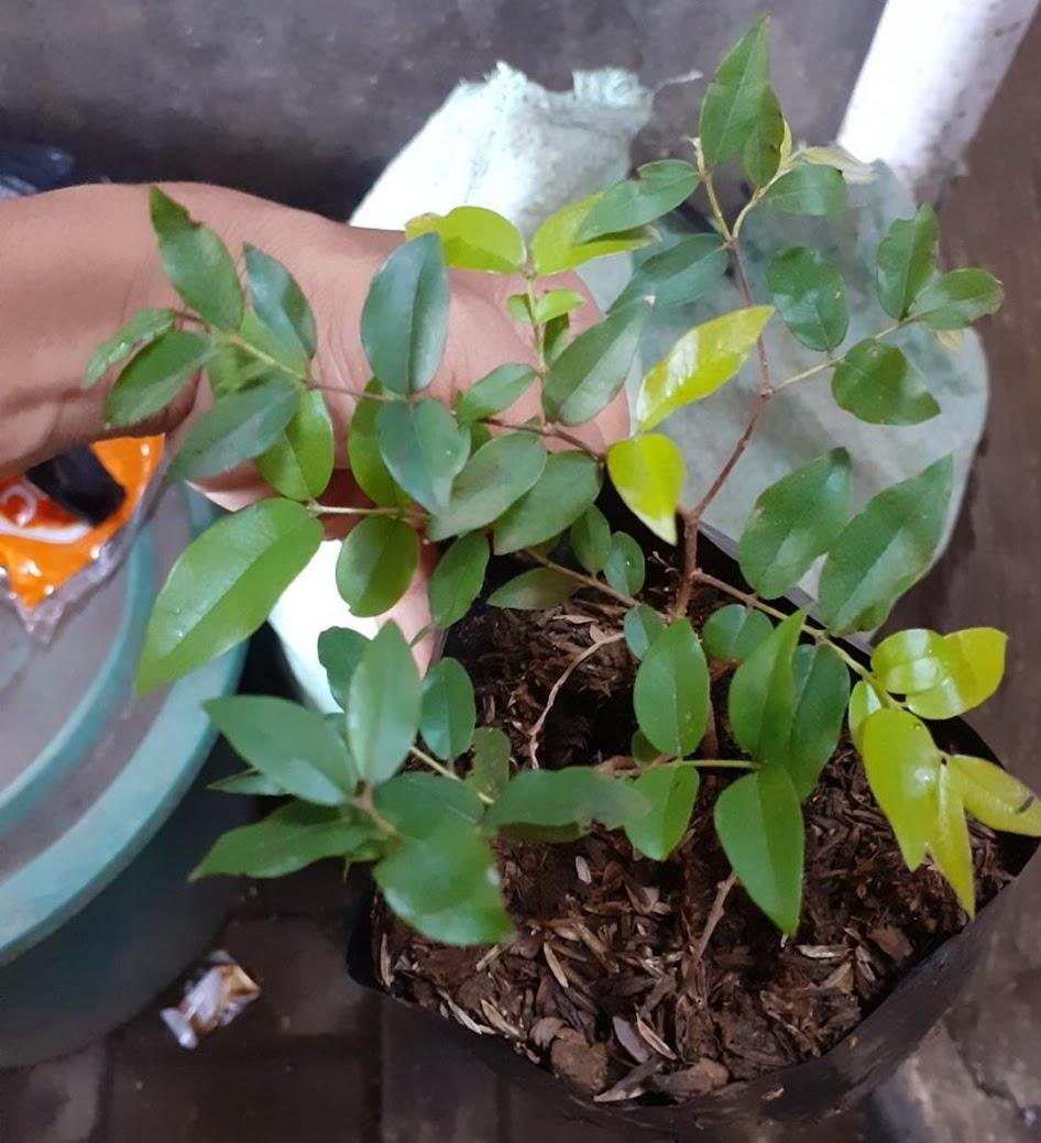 tanaman anggur pohon brazil sabara Mataram