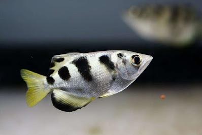 Ciri-Ciri Ikan Sumpit Atau Ikan Pemanah