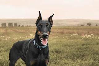 صور كلاب دوبر مان واسعارها