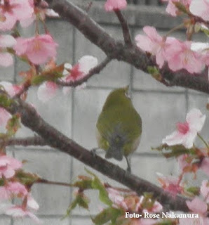 linda foto da sakura