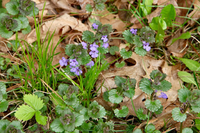ground ivy with strawberry leaf