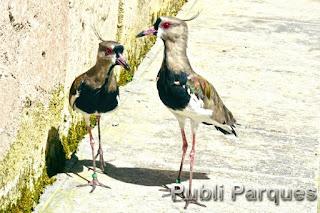 Tero (Vanellus chilensis)