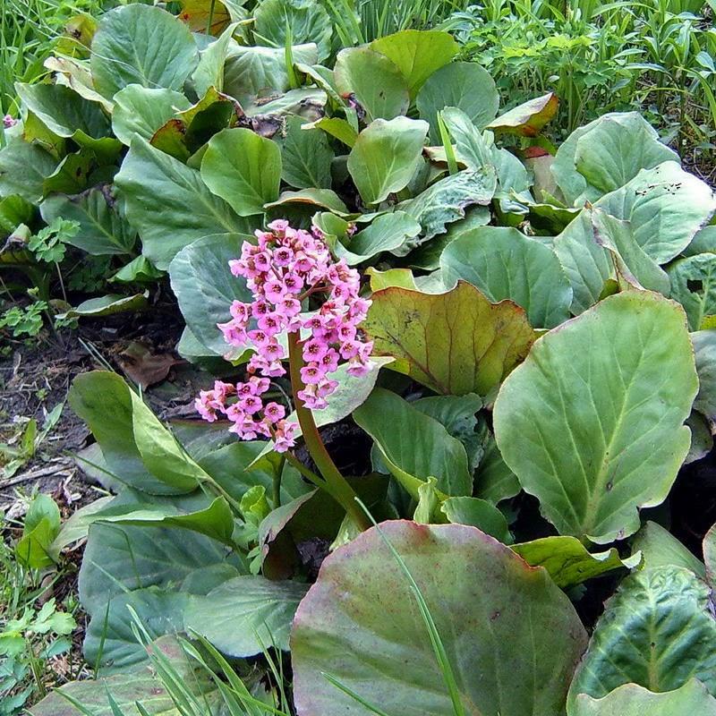 gėlė padeda sergant hipertenzija)