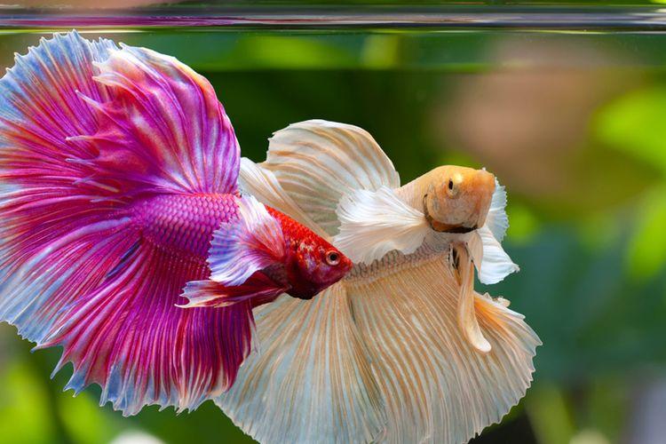 Cara Budidaya Ikan Cupang di Kolam dan Aquarium