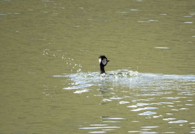 Birds of Patagonia: White-tufted grebe
