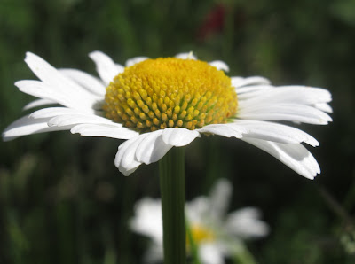 Daisies Photo by Heather