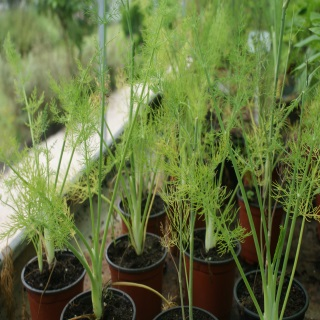http://www.cantinhodasaromaticas.pt/loja/plantas-em-vaso-bio/funcho-foeniculum-vulgare-2/