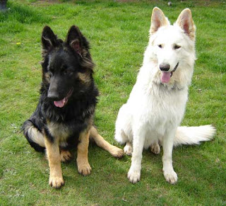 Black Tan German Shepherd Dog