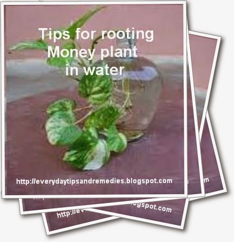 Tips And Remedies: Tips for rooting Money plant in water