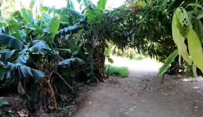 Pohon pisang yang rimbun di gurun tandus