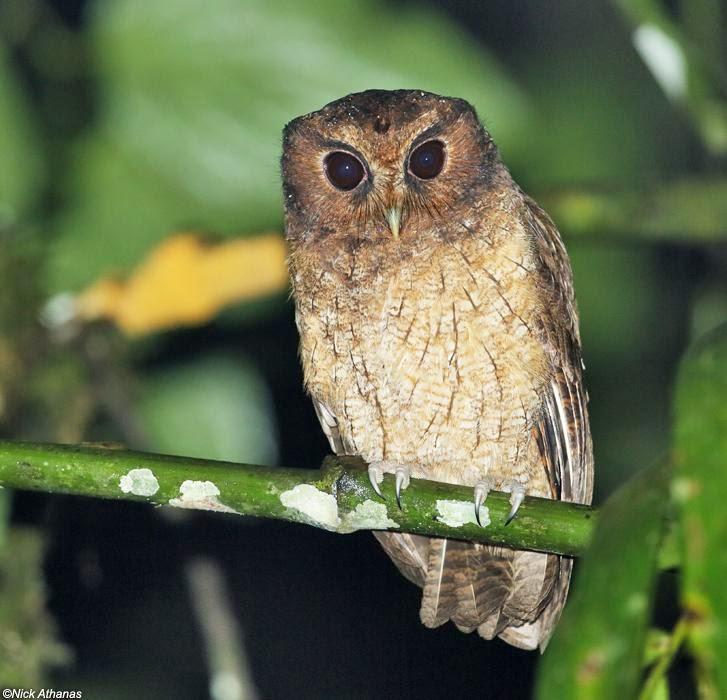 Autillo colombiano: Megascops colombianus