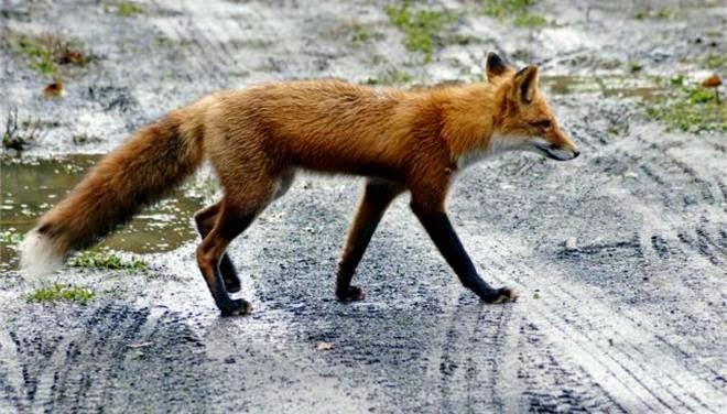 Ελικόπτερα ρίχνουν εμβόλια για τη λύσσα σε Καστοριά και άλλες περιοχές της Ελλάδας