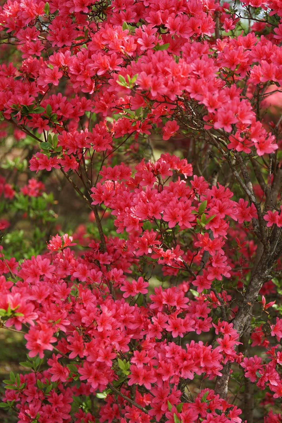 赤々と咲いた山躑躅の木