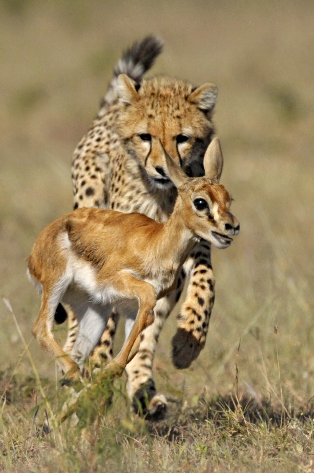 Cheetah   World Fastest Animal Interesting Facts   Animals ...