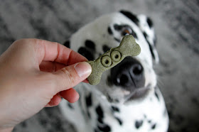 Dalmatian dog begging for dog treat that is shaped like a bone with stamped monster eyes