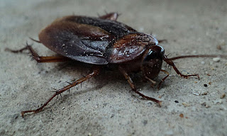 About Cockroach in hindi. कॉकरोच. Insects.