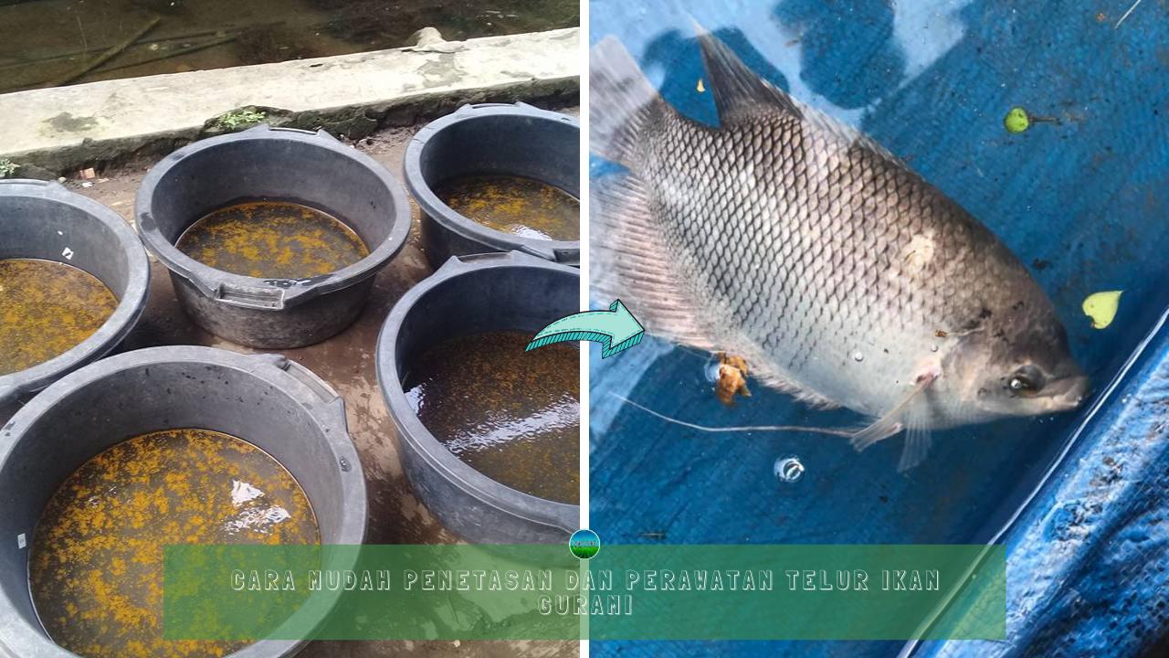 Cara Mudah Penetasan dan Perawatan Telur Ikan Gurami