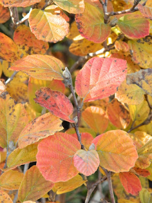 Dwarf fothergilla gardenii Blue Mist autumn foliage Toronto Botanical Garden by garden muses-not another Toronto gardening blog