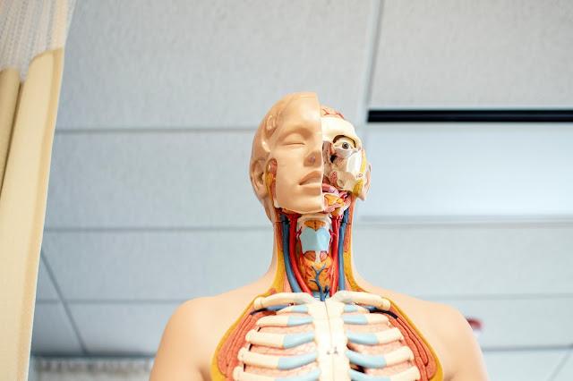 Humas anatomy medical model:Photo by Nhia Moua on Unsplash
