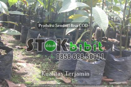 Budidaya sukun dengan cara stek akar    terjamin