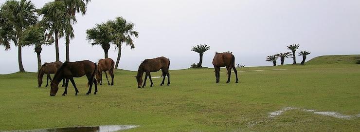 都井岬の野生馬の群れ