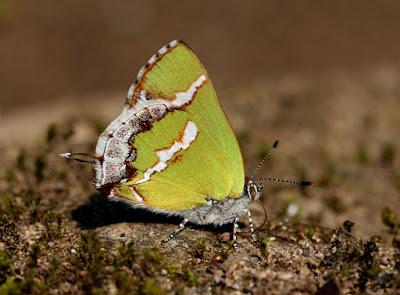 Mariposa banda de plata (Chlorostrymon simaethis)